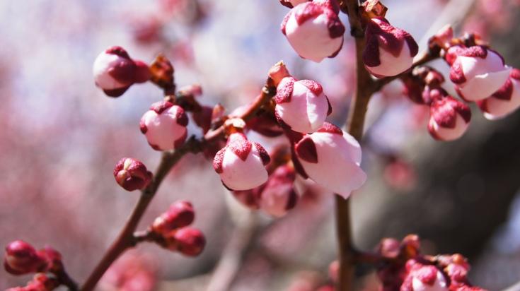 A Cherry Blossom Bud