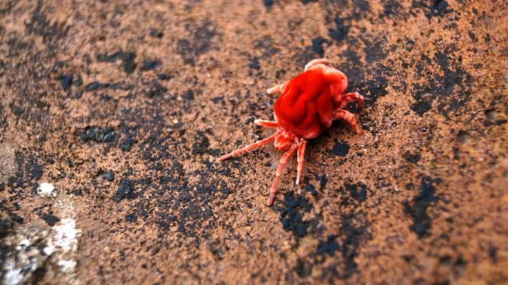 Red bug Bagan
